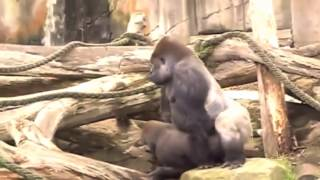 Monkey Mating in zoo Videos