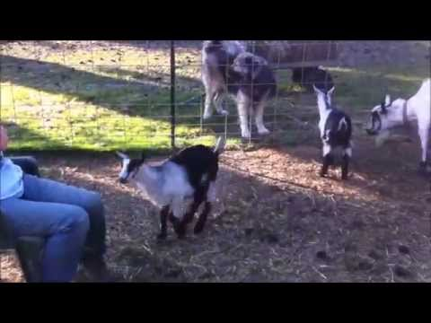 Baby Goats Use This Lady as a Springboard