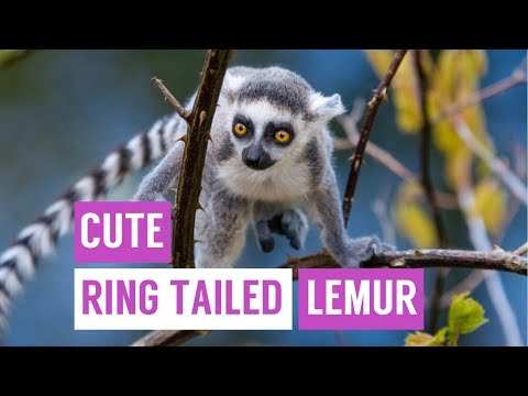 Cute Baby Ring Tailed Lemur Compilation