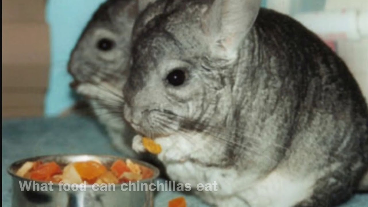 What can chinchillas eat