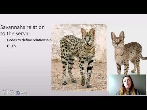Exotic Cat Breeds Savannah AshleyBlackburn
