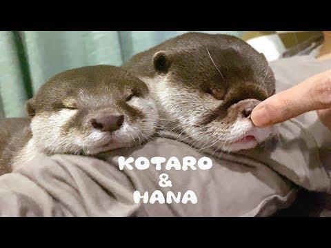 dumpling-otters-kotaro&hana-sleep-on-my-shoulder