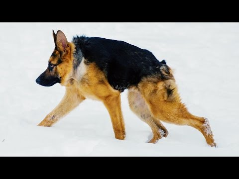 Quasimodo - Shortened Version Of German Shepherd