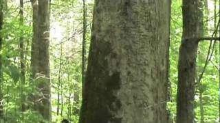 Biggest Tree in the Smoky Mountains