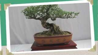 We Love Bonsai - Exhibits of China Bonsai Exhibition 2012 我們愛盆景-中國盆景精品展