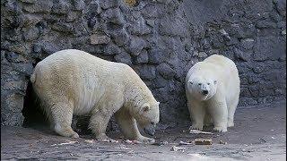 Нашествие белых медведей: почему на Новой Земле пришлось объявить режим ЧС thumbnail