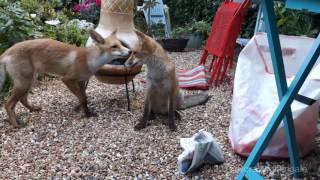 The fox cubs' nursery