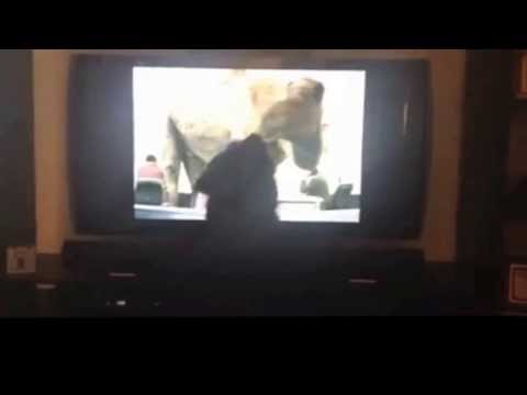 PHIL The Dog HATES HUMPDAY...ATTACKS GEICO CAMEL ON TV
