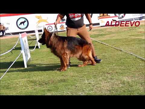 GERMAN SHEPHERD OPEN CLASS MALE LONG HAIR SHOW EGYPT
