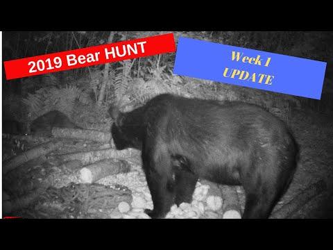 Bear Hunting Minnesota 2019 Week 1 Update
