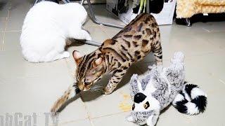 (18+) Сытый бенгальский кот виртуозно прячет новые порции под игрушку лемура. Тайная жизнь животных