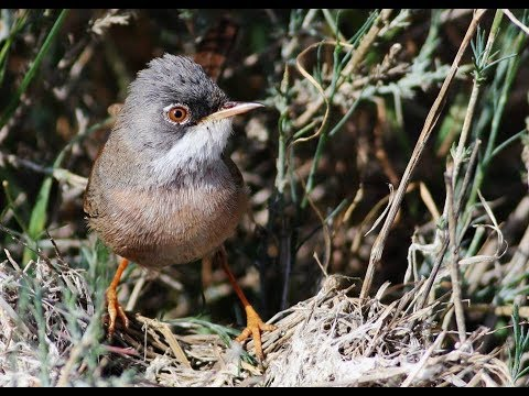 Spectacled Warbler nest (Sylvia conspicillata)  Καστανοτσιροβάκος, Κοτσινοφτέρι - Cyprus