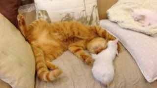 ソファはくつろぐ場所だと覚えた「ひろし」。 子猫とまったり〜。 妹タ...