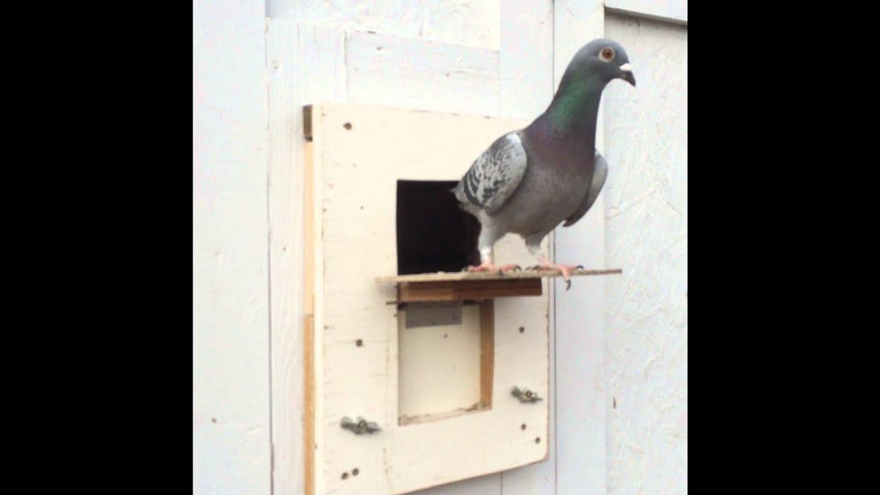 Pigeon Safe Trap 2016 & Pigeon Safe Trap 2016 - YouTube