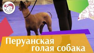 Перуанская  голая  собака Содержание ilikepet