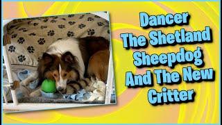 Dancer Meets A New Critter    Cute Shetland Sheepdog dog Video #shorts