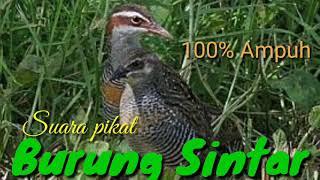Download lagu Burung Sintar terbaru suara pikat di jamin 100 Ampuh MP3
