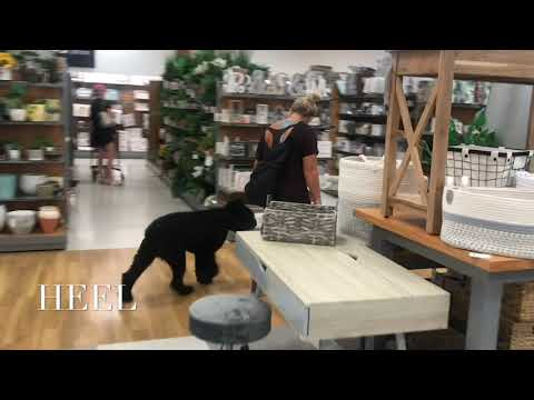 8 Month Old Bouvier | Best Bouvier Dog Training | Off Leash K9 | Board and Train | Oklahoma