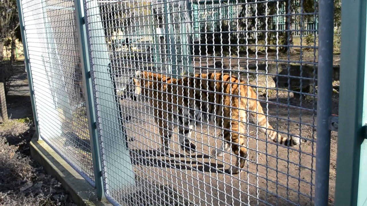 Mellesleg zsiraf szuletik 158 - Debreceni Llatkert Tigris A Kifut N