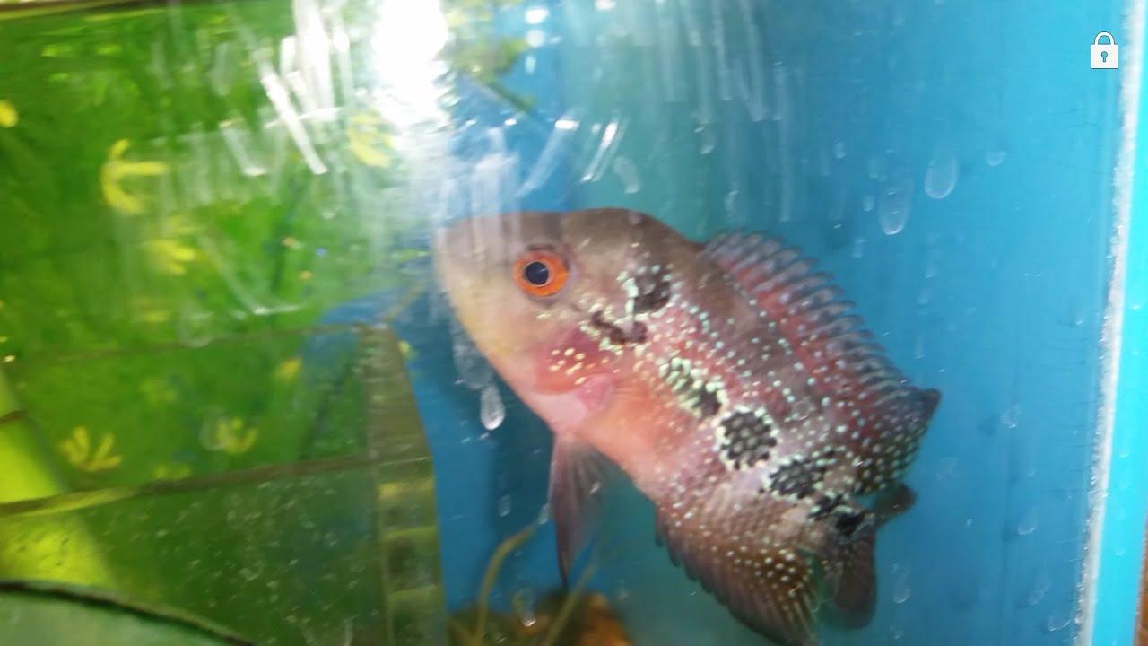 Freshwater aquarium fish internal parasites - Treating Hexamita Internal Parasites In Cichlids