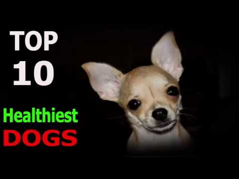 Top 10 Most Healthiest Dog Breeds in the World | Top 10 animals