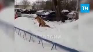 В Казани очевидцы сняли на видео, как лисица гуляет по улицам
