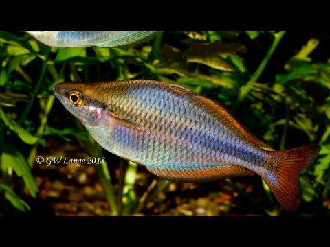 The Newest And Most Desirable Rainbow Fish - Melanotaenia