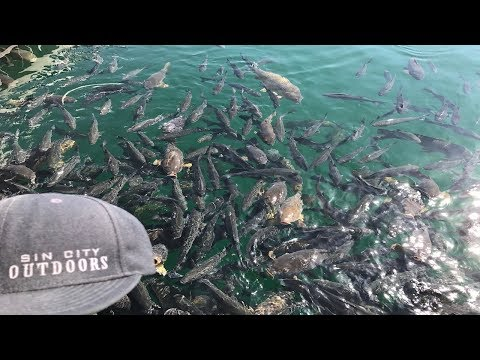 Fishing Overpopulated Striper Waters at Lake Mead, Nevada Using Live Shad