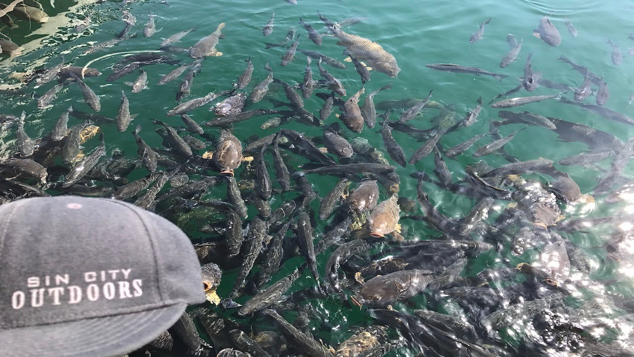 Fishing overpopulated striper waters at lake mead nevada for Fishing lake mead