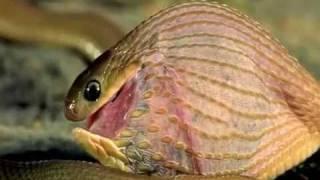 Шок! Змея поедает яйцо, превосходящее ее по размеру.