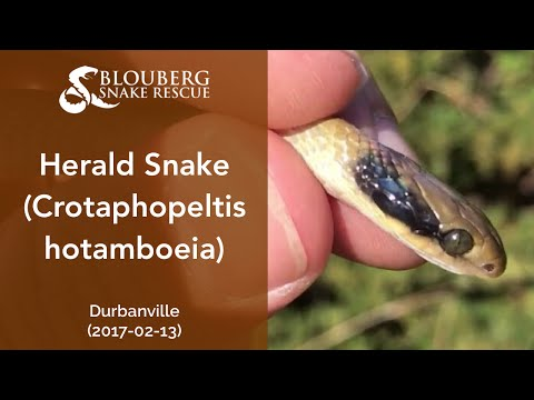 Herald Snake near Durbanville, Cape Town, Western Cape, South Africa (20170213)