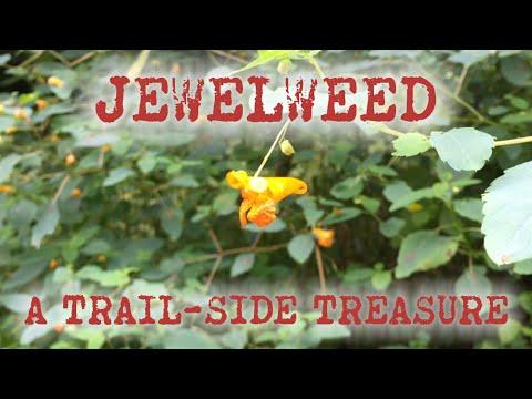 Jewelweed: A Trail-Side Treasure