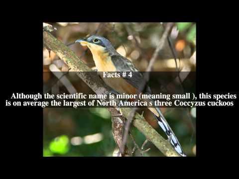 Mangrove cuckoo Top # 6 Facts