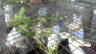 RABBIT FARM IN INDIA * Kozhikode,Malappuram,Kannur,Kasargod