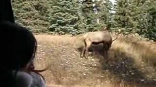 野生動物探索・バンフ&ミネワンカ湖ツアーでの一コマ。野生のエルクが...