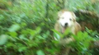 Dog Finds Matsutake Pine Mushroom Then Sits On It - Fail