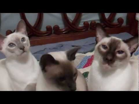 HOW TO TRAIN 3 TYPES OF SIAMESE CATS AT ONCE