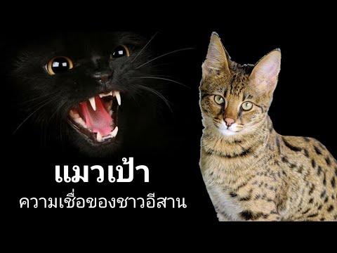 แมวเป้า ความเชื่อชาวอีสาน