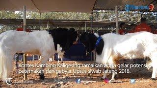 Video Kontes Kambing Kaligesing Kambing Dengan Harga Fantastis download MP3, 3GP, MP4, WEBM, AVI, FLV September 2019