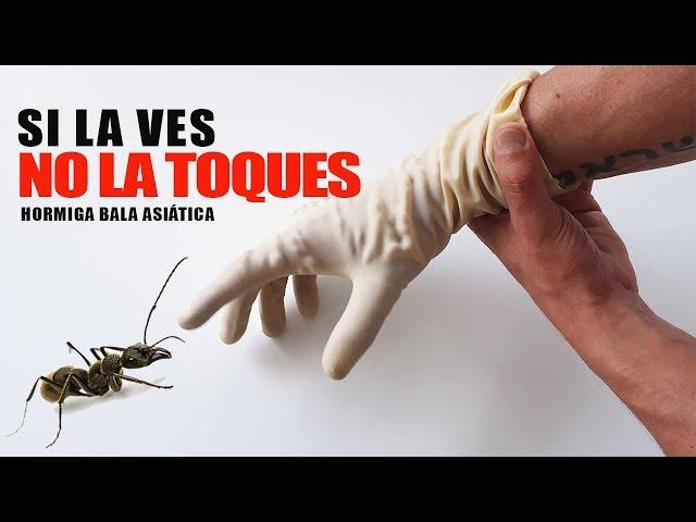 JAMÁS TOQUES ESTA HORMIGA - Hormigas bala asiáticas