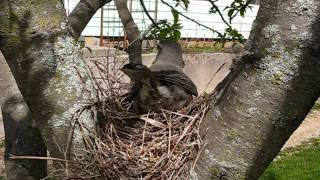 Robin Building A Nest