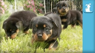 Amazing Rottweiler Puppies! (cutest Compilation Ever) - Puppy Love