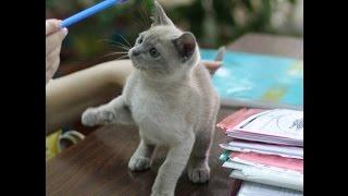 Бурманские котята из питомника PCA Бланка