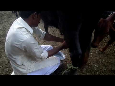 buffalo hand milking in the Pakistan | sabir ali