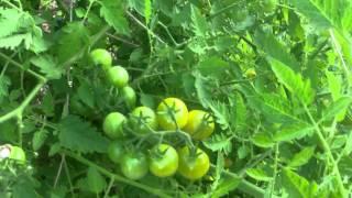 Garden Update Cantaloupe & Watermelon Growing In A Bush?!?!?