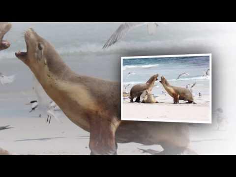 Australian sea lion - kangaroo island sea lion australia