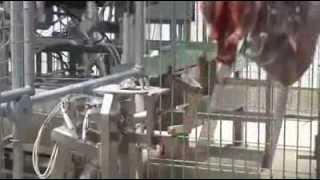 Video of the cutting and automatic sorting of cattle meat in factories