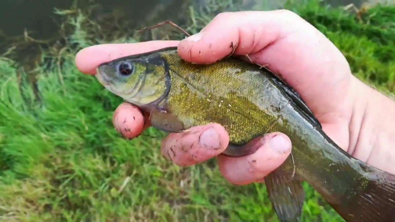 разведение рыбы карась или линь