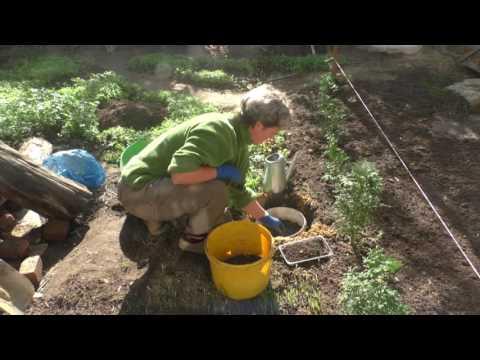 видео: Детка ценных лилий Сажаю со страховкой