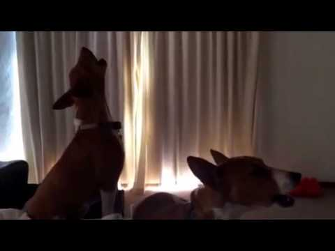 Basenji dogs singing in unison